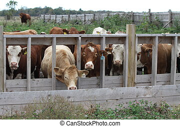 Cows in Transfer-Holding Pen