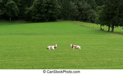 Cows Lie on the Green Grass in the Pasture of the Alpine...