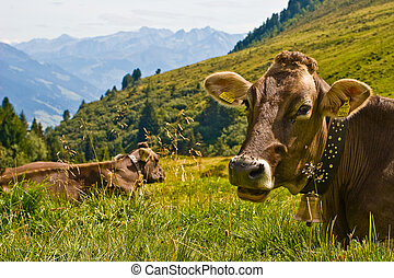 Cows lying in the grass in the mountains