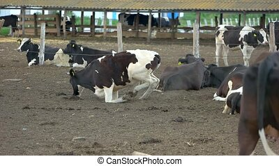 Cows lying on the ground.