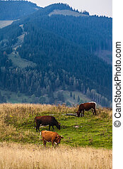 Cows, mountains
