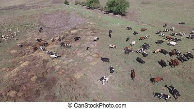Cows of a dairy grazing on fields of a farm. - A herd of...