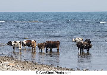 Cows On A Beach