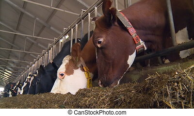 Cows on a dairy farm