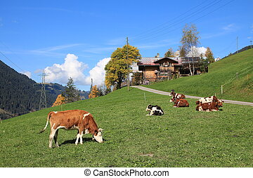 Cows on a green meadow in the Swiss Alps