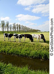 Cows on a meadow in the Netherlands