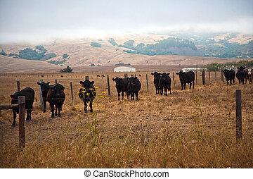 cows on a meadow near San Simeon, California