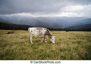 cows on a mountain meadow in a rainy day