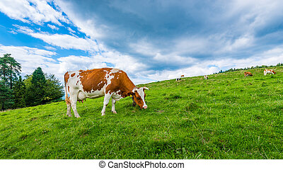 cows on a mountain meadow
