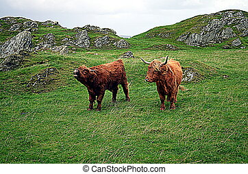 Cows on a pasture in norway