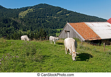 cows on alpine meadow in bavaria germany