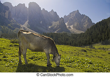 cows on alps