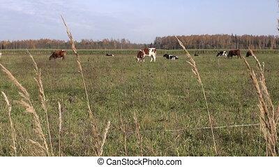 cows on autumn field