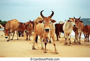 Cows on Beach
