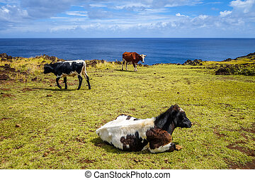 Cows on easter island cliffs