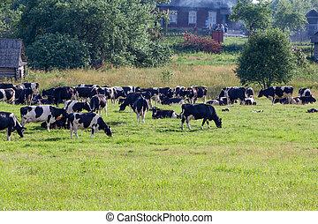 Cows on farmland