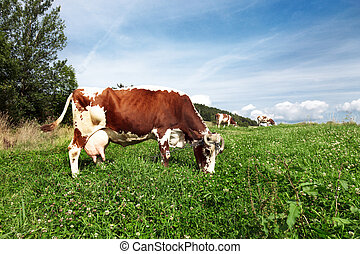 Cows  on farmland