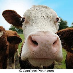 cows on farmland - Close-up of a funny cow on on farmland in...