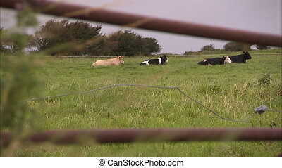 Cows on green grass - A blur to focus shot of cows in the...