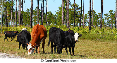 Cows graze on grass at a military base in Florida.