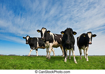 Cows on on farmland in the Netherlands
