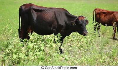 Cows on pasture 14 - Cows on pasture