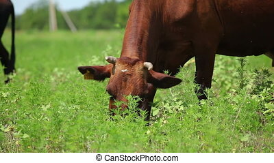 Cows on pasture 4