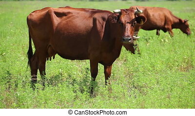 Cows on pasture 6