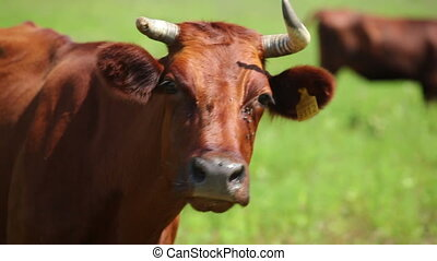 Cows on pasture 7