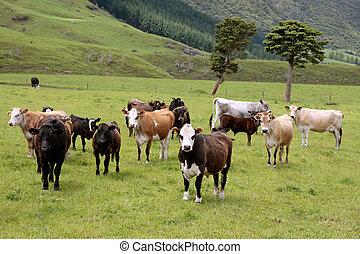 Cows on pasture near Rotorua, New Zealand