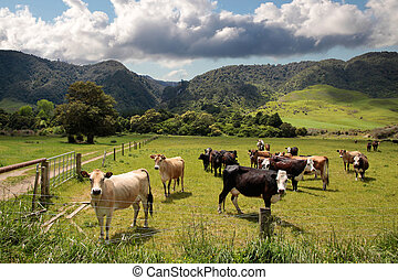 Cows on pasture near Rotorua, New Zealand