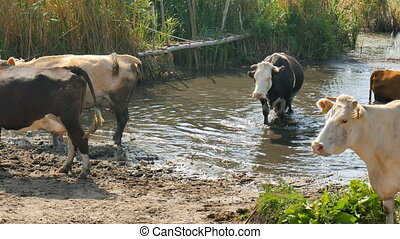 Cows on river. Cows Drinking In The Water Of River. cows drink water.