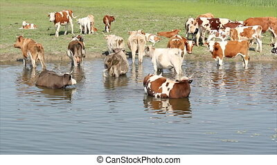 cows on river