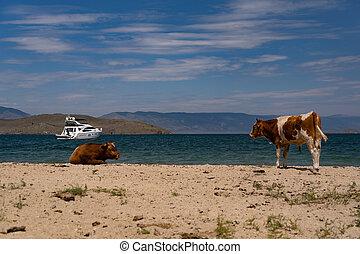 Cows on the beach