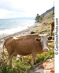 Cows on the coast of Baikal lake