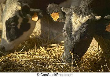 Cows on the farm 12