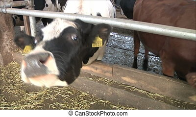 cows on the farm 2
