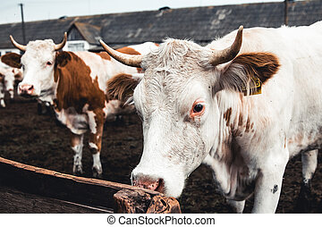 Cows on the form. Milk, meat production. Household animals. ...