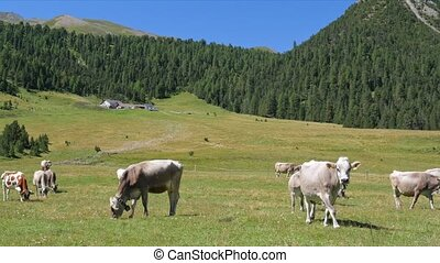 Cows on the green field