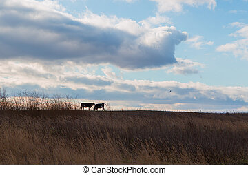 Cows on the meadow in autumn time
