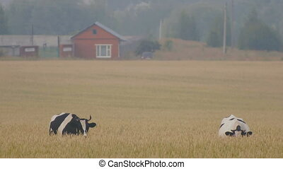 Cows on the meadow of ears wheat