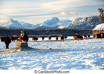 cows on the ranch - herd of cows in winter