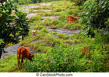Cows on the Rocky Hill