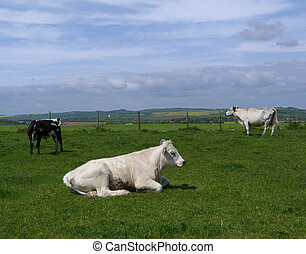Cows on the South Downs, East Sussex, UK