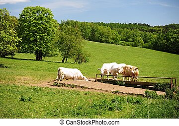 Cows on the spring green meadow