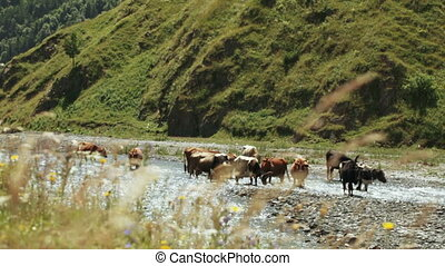 Cows on wild riverbank - On bank of river wild mountain herd...