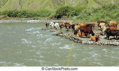 Cows on wild riverbank