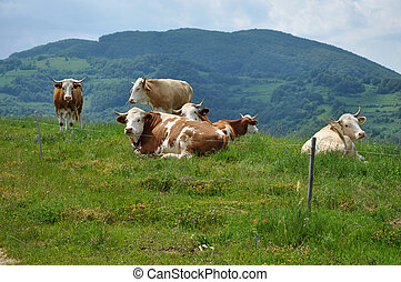 Cows pasture behind electric fence