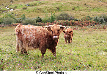 Cows - Scottish highland cows, mother and calf
