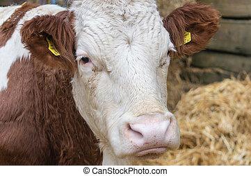 Cow's Portrait